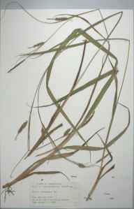 Carex laevigata herbarium specimen from allt ty cam, VC46 Cardiganshire in 1999 by Dr Andrew David Quentin Agnew.