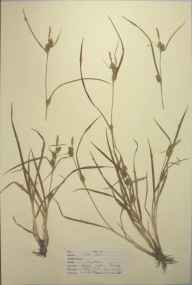Carex hostiana x viridula = C. x fulva herbarium specimen from Epping Forest, VC18 South Essex in 1947 by D A J Little (BSBI).