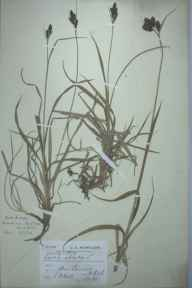 Carex atrata herbarium specimen from Ben Lawers, VC88 Mid Perthshire in 1901 by Leslie Beeching Hall.