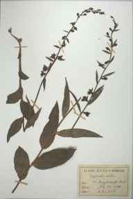 Epipactis helleborine herbarium specimen from Giggleswick, VC64 Mid-west Yorkshire in 1881 by Rachel Ford Thompson.