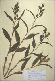 Cephalanthera damasonium herbarium specimen from Betchworth, VC17 Surrey by D A J Little (BSBI).