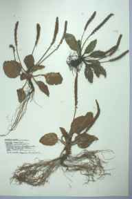 Plantago major herbarium specimen from Burry Port, VC44 Carmarthenshire in 1959 by Barbara A G Williams.