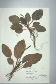 Plantago major herbarium specimen from Hoveringham, VC56 Nottinghamshire in 1968 by Margaret Boote.