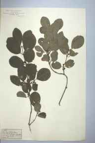 Lonicera xylosteum herbarium specimen from Goyts Clough, VC57, VC58 in 1878.