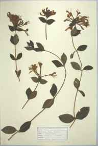 Lonicera periclymenum herbarium specimen from Trevaylor, VC1 West Cornwall in 1947 by D A J Little (BSBI).