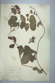 Lonicera caprifolium herbarium specimen from Cherry Hinton, VC29 Cambridgeshire in 1894 by Mr George Goode.