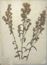 Solidago virgaurea herbarium specimen from Chichester, VC13 West Sussex in 1886.