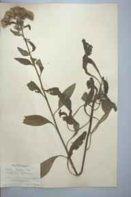 Inula conyzae herbarium specimen from Devil's Dyke, VC29 Cambridgeshire in 1904 by Prof Richard Henry Yapp.