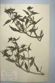 Bidens tripartita herbarium specimen from Saint Columb Minor, VC1 West Cornwall in 1905 by Dr Chambre Corker Vigurs.