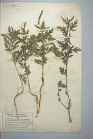 Ambrosia artemisiifolia herbarium specimen from Saint Annes on the Sea, VC60 West Lancashire in 1902 by Mr Charles Bailey.