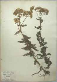 Achillea millefolium herbarium specimen from Brean Down, VC6 North Somerset in 1931.