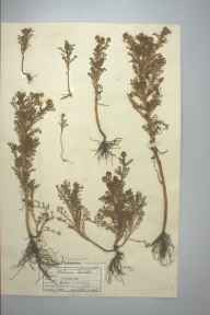 Matricaria discoidea herbarium specimen from Madron, VC1 West Cornwall in 1946 by D A J Little (BSBI).