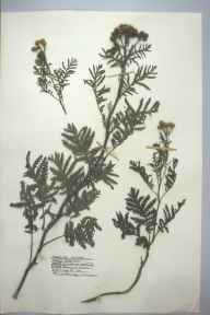 Tanacetum vulgare herbarium specimen from Burry Port, VC44 Carmarthenshire in 1959 by Barbara A G Williams.