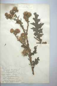 Carduus crispus var. polyanthemos herbarium specimen from Carey, VC36 Herefordshire in 1885 by Rev. Augustin Ley.