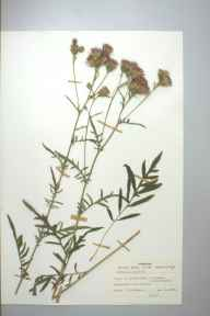 Serratula tinctoria herbarium specimen from Llanfihangel-y-creuddyn, VC46 Cardiganshire in 1979 by Miss M Hildred Bigwood.