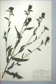 Centaurea nigra herbarium specimen from Blackheath, VC37 Worcestershire in 1960 by Patricia A Mills.