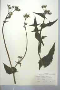 Sonchus oleraceus herbarium specimen from Llanedyn, Cardiff, VC35,VC41 in 1959 by J E Rees.