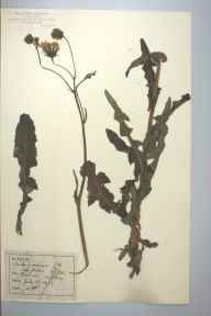 Sonchus arvensis herbarium specimen from Penmon, VC52 Anglesey in 1889 by Rev William Hunt Painter.