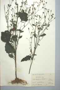 Lapsana communis herbarium specimen from VC44 Carmarthenshire in 1960 by Eifion R Morgan.
