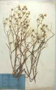Crepis tectorum herbarium specimen collected by Ad Schwoder.