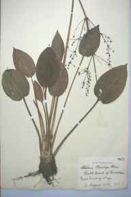 Alisma plantago-aquatica herbarium specimen from Coniston, VC69 Westmorland in 1884.