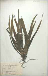 Stratiotes aloides herbarium specimen from Ashton-under-Lyne, VC59 South Lancashire in 1878 by Mr William Isaac Hannan.