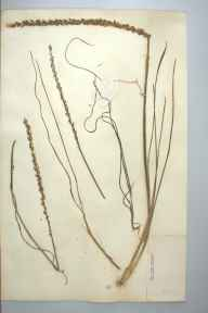 Triglochin maritima herbarium specimen from Hickling Broad, VC27 East Norfolk in 1907 by Prof Richard Henry Yapp.