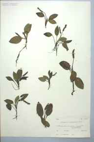 Potamogeton polygonifolius herbarium specimen from Loch Garten, VC96 East Inverness-shire in 1952 by Prof Philip Frank Wareing.