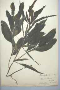 Potamogeton lucens herbarium specimen from Barton Broad, VC27 East Norfolk in 1886 by Philip Scarborough King.