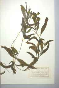 Potamogeton lucens x gramineus = P. x angustifolius herbarium specimen from Derwent Water, VC70 Cumberland in 1882 by Mr Charles Bailey.