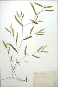 Potamogeton gramineus herbarium specimen from Mepal, VC29 Cambridgeshire in 1888 by Mr Alfred Fryer.