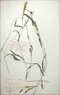 Potamogeton gramineus herbarium specimen from Navan, VCH22 Meath in 1893 by Reginald Wiliam Scully.
