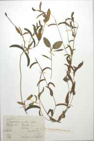 Potamogeton berchtoldii herbarium specimen from Frimley, VC17 Surrey in 1888 by Mr Arthur Bennett.