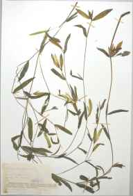 Potamogeton berchtoldii herbarium specimen from Stocking Fen, VC31 Huntingdonshire in 1889 by Mr Alfred Fryer.