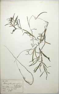 Potamogeton obtusifolius herbarium specimen from Valley, VC52 Anglesey in 1886 by Rev William Hunt Painter.