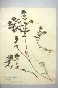 Groenlandia densa herbarium specimen from Cambridge, King's College, VC29 Cambridgeshire in 1901 by Prof Richard Henry Yapp.