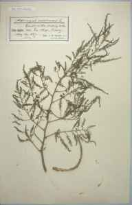 Asparagus officinalis subsp. prostratus herbarium specimen from Jersey,La Moye, VC113 Channel Islands in 1897 by Mr James Walter White.