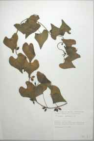 Tamus communis herbarium specimen from Penderi Cliffs, VC46 Cardiganshire in 1996 by Dr Andrew David Quentin Agnew.