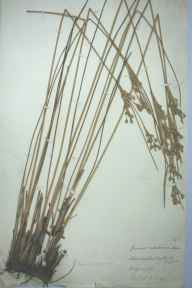 Juncus maritimus herbarium specimen from Southwold, VC25 East Suffolk in 1888 by Hubert A King.