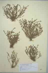 Juncus bufonius herbarium specimen from Winton, Bournemouth, VC9 Dorset in 1951 by D A J Little (BSBI).