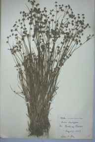 Juncus acutiflorus herbarium specimen from Claerwen, VC42,VC43 in 1883 by Lilian H King.