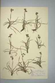 Luzula campestris herbarium specimen from Epping Forest, VC18 South Essex in 1947 by D A J Little (BSBI).
