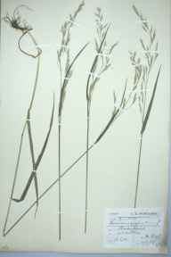 Festuca gigantea herbarium specimen from Killin, VC88 Mid Perthshire in 1903 by Charles Smith Nicholson.