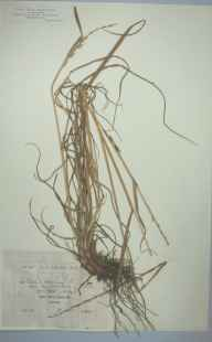 Lolium multiflorum herbarium specimen from Bournemouth, VC9 Dorset in 1890 by Rev. Edward Francis Linton.