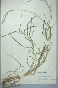 Glyceria notata herbarium specimen from Usk, VC35 Monmouthshire in 1961 by L H Davies.