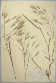 Anisantha sterilis herbarium specimen from Epping, Essex in 1947 by D A J Little (BSBI).