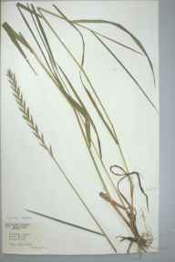 Elymus repens herbarium specimen from Isleham, VC29 Cambridgeshire in 1967 by Fiona M Audus.