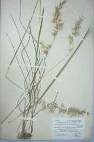 Helictotrichon pubescens herbarium specimen from Worle, VC6 North Somerset in 1908 by Charles Smith Nicholson.