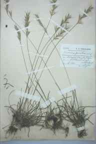 Helictotrichon pratense herbarium specimen from Arthur's Seat, VC83 Midlothian in 1910 by Charles Smith Nicholson.