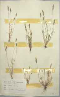 Aira praecox herbarium specimen from Isles of Scilly,Tresco, VC1 West Cornwall in 1963 by D A J Little (BSBI).